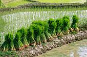 Sheaves of rice on rice terraces, Yuanyang, China