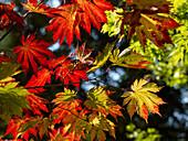 Japanese Maple or Acer japonicum Vitifolium, Westonbirt Arboretum, Gloucestershire, UK - England