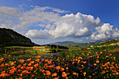 Wildflower meadow, Temple of Segesta, Trapani, Sicily, Italy