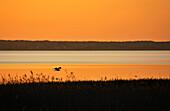 Heron flying abover Achterwasser, Loddin, Usedom, Mecklenburg-Western Pomerania, Germany