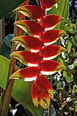 Heliconia, Mauritius, Africa