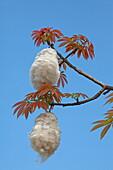 Branch of a Kapok tree with cottony fruit, Zanzibar, Tanzania, Africa