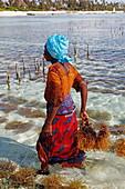 Female worker in seaweed farm, Matemwe, Zanzibar, Tanzania, Africa