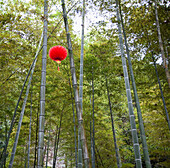 Red Paper Lamp in Bamboo Forest, Beijing, China
