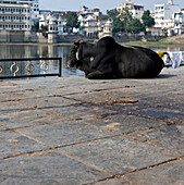 Sacred Cow at the Bathing Ghat, Udaipur, Rajastan, India