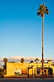 Tall Palm Tree, Twentynine Palms, California, USA