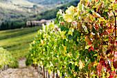 Row of Grapevines in Vineyard, Panzano in Chianti, Tuscany, Italy