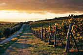 Road Through Vineyard, Panzano in Chianti, Tuscany, Italy