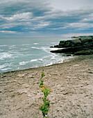 Pflanzen in Felsspalte, Küste am Stadtpark von Santander, Kantabrien, Spanien