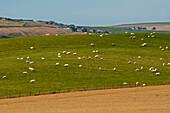 Schafe grasen auf der Weide, Farmland nahe Troup Head, Aberdeenshire, Schottland