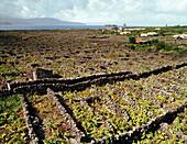 Weinanbaugebiet des Verdelho, Monte, Madalena, Insel Pico, Azoren, Portugal