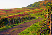 Rotweinwanderweg through vineyards near Altenwegshof, Autumnal tint, Ahr, Eifel, Rhineland-Palatinate, Germany, Europe