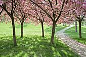 Cherry trees in full blossom at Seepark, Freiburg im Breisgau, Baden-Wuerttemberg, Germany, Europe
