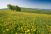 Flower meadow and beech trees in spring, Schauinsland, Black Forest, Baden-Wuerttemberg, Germany, Europe