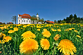 Meadow with dandelions and church Wieskirche, Pfaffenwinkel, Upper Bavaria, Germany, Europe