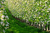 Rows of apple trees in blossom, Vinschgau, South Tyrol, Italy, Europe