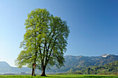 Wayside cross between two lime trees, Herzogstand and Heimgarten in background, Bavarian Prealps, Upper Bavaria, Bavaria, Germany