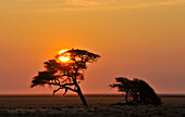 Umbrella Thorn Acacia at sunrise, Etosha, Namibia, Africa