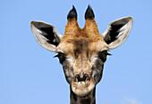 A giraffe's head, Etosha National Park, Namibia, Africa