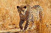 Leopard sneaking through dry grass, Etosha National Park, Namibia, Africa