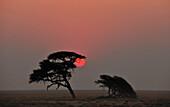 Umbrella Thorn Acacia at sunset, Etosha, Namibia, Africa