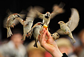 Flying sparrows around hand holding feed, Paris, France