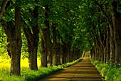 Idyllic linden-lined avenue, Usedom, Mecklenburg-Western Pomerania, Germany, Europe