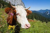 Cattle on an alpine pasture, Upper Bavaria, Germany