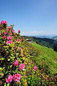 Meadow with alpine rose and alpine hut, Kitzbuehel range, Tyrol, Austria, Europe
