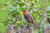 European Robin  on a garden fence, Bavaria, Germany