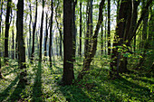 Deciduous forest in spring, Upper Bavaria, Germany