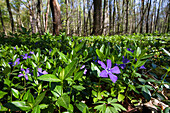 Lesser periwinkle (Vinca minor) in a deciduous forest in spring