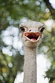amusing, animal, beak, bird, Close-up, Color image, day, fauna, funny, head, headshot, humorous, humour, looking at camera, nature, one, One animal, ornithology, Ostrich, outdoor, portrait, struthio camelus, vertical, wild, wildlife, witty, zoology, XI9-9