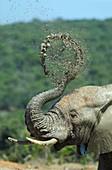 Addo, Africa, African, Behavior, Droll, Dust, Eastern cape, Elephant, Funny, Grey, Head, Loxodonta africana, Mud, National park, Park, Portrait, Soil, South africa, Splash, Splashing, Trunk, Water, Wildlife, YA1-1046734, agefotostock