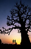 Adansonia digitata, Africa, African, Baobab, Beauty, Big, Branch, Dusk, Evening, Local, Night, Orange, Peaceful, People, Person, Persons, Purple, Scene, Senegal, Shape, Silhouette, Silhouetted, Sine saloum, Sine-saloum, Sky, Sunrise, Sunset, Sunshine, Tra