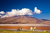 Bolivia, Southern Altiplano, Laguna Colorada Llamas near the Laguna Coloroda otherwise know as the coloured lake