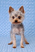 Humorous portrait of a Yorkie dog with his tongue out