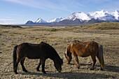 Icelandic horses, Hofn, Iceland