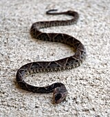 Fer-de-lance Bothrops asper is the most dangerous snake in Costa Rica and one of most venomous snakes in the world