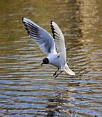 Black headed gull Chroicocephalus ridibundus landing on wavy lake
