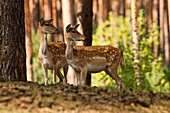 Fellow Deer, Dama, dama, female