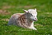 Lamb, Domestic Sheep, Ovis aries