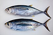 juvenile yellowfin tunas are called, shibi in Hawaii and Japan, consisting of two differenct species of tunas - yellowfin tuna, Thunnus albacares above, and bigeye tuna, Thunnus obesus bottom, note the diffences that bigeye tuna has larger eyes, longer pe