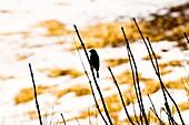 Springtime Bird Silhouette