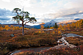 Landscape with some birch trees and pines north of the arctic circle at sunset, Saltdal, Junkerdalen national park, trekking tour in Autumn, Fjell, Lonsdal, near to Mo i Rana, Nordland, Norway, Scandinavia, Europe