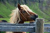 Icelandic Horse near Mosfellsbaer, Western Iceland, Europe