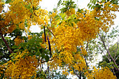 Yellow Flowers of the Indian Laburnum (Golden Shower Tree) in the King's Colors, Thailand, Asia