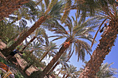 Harvesting Dates, Amzrou, Morocco, Maghrib, Africa