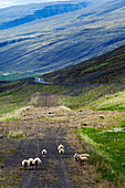 Icelandic Sheep in the Region of Varmahlid, Northern Iceland, Europe