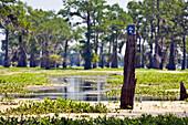Wood Post in Swampland, Louisiana, US